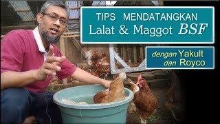 Video Tips Mendatangkan Maggot BSF bersih dengan Yakult dan Royco MP3, 3GP, MP4, WEBM, AVI, FLV Januari 2019