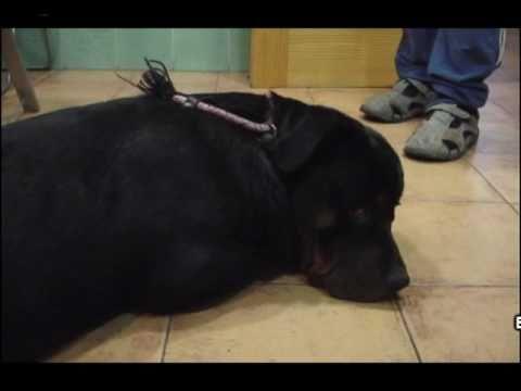 Ingestión de Hachis por un perro
