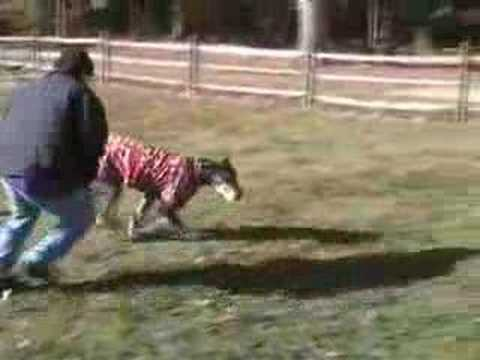 Video More of Teo the Great Dane playing at the dog park download in MP3, 3GP, MP4, WEBM, AVI, FLV January 2017