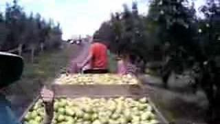 Shepparton Australia  city photos gallery : Picking pears in Shepparton, Australia