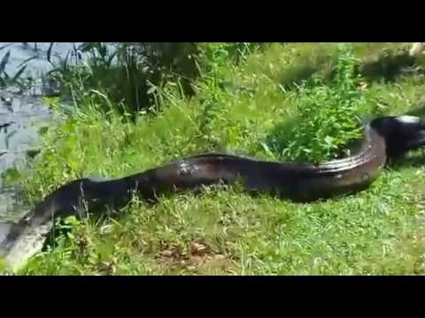 Video Cobra saindo do rio em MT...estrada Sao Jose Rio Claro