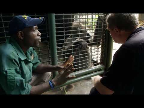 RARE   Extrait : Le très rare gorille de Diehl
