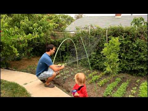 how to grow lebanese cucumbers