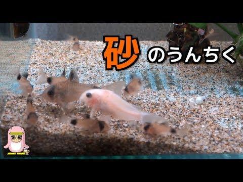 砂のうんちく コリドラスパンダ水槽 薄い砂でもモフモフ