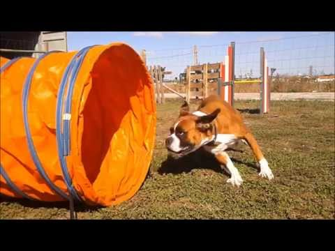 boxer agility training!