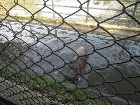 (Hippopotamus : Central Zoo - The only Zoo of Nepal - Duration: 2 minutes, 53 seconds.)