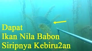 Video nembak ikan nila didanau toba dapat babon spearfishing tilapia (babonnya hampir lepas) MP3, 3GP, MP4, WEBM, AVI, FLV Desember 2018