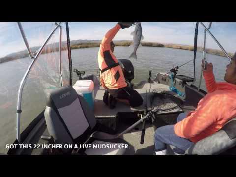 CA Delta VIRGIL'S STRIPER DERBY 2016 SUISUN CA (live bait fishing for stripers)