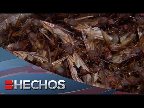 Yo amo mi dinero - Las chicatanas, un alimento tradicional de Veracruz