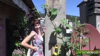 #1317 Sabine Reber über veredeltes Gemüse - Pflanzbeispiel veredelte Wassermelone