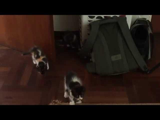 Gatitos al Ataque