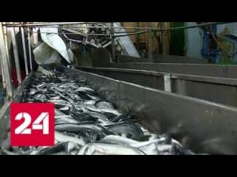 Россия будет перерабатывать у себя больше рыбы - Россия 24 (видео)