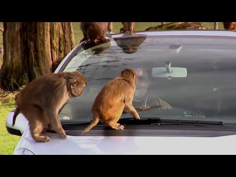 LLP81 - Don't feed the monkeys (or give them a socket set). Funny viral from the IET www.theiet.org/inspire.