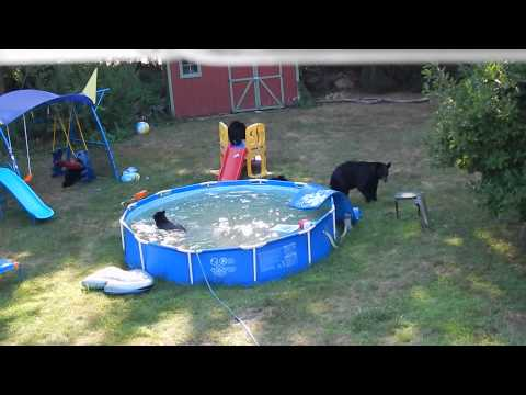 Bears have Pool Party