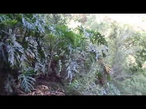 guaimbe  ~ [  philodendron sellom ] no habitat em cachoeira - caetano.