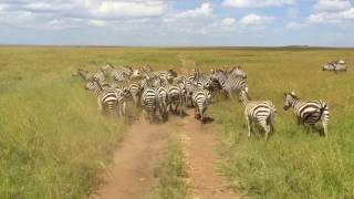 Serengeti Tanzania  city photos : Tanzania Safari, 2016 (Serengeti, Ngorongoro, Tarangire, and Lake Manyara) - with Oltumure Tours