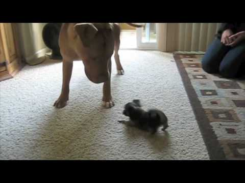 DOG FIGHT! Pitbull vs Chihuahua vs Cat