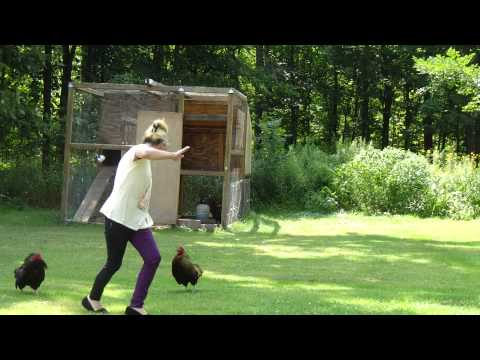 Woman is attacked by her chickens when she opens the cage