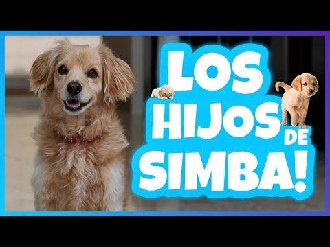 Daniel El Travieso - Simba Tendrá Cachorros?