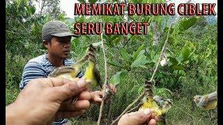 Download Video WAJIB NONTON !!! Memikat burung ciblek di alam liar dapat banyak menggunakan mp3 MP3 3GP MP4
