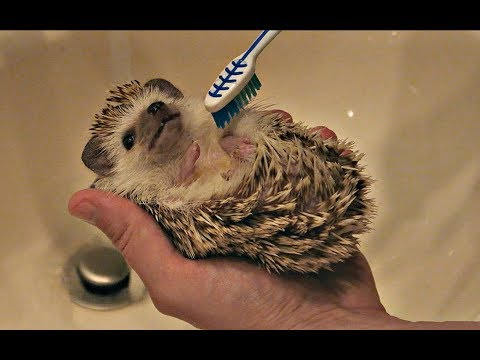 How to Pamper Your Hedgehog