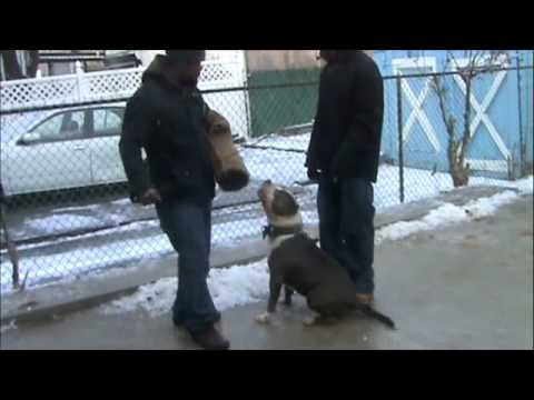 Brooklyn Blue Bullies(Obiedence Session) (видео)