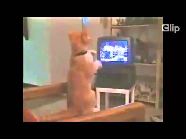 Chú mèo tỏ ra hăng máu khi xem đấm bốc