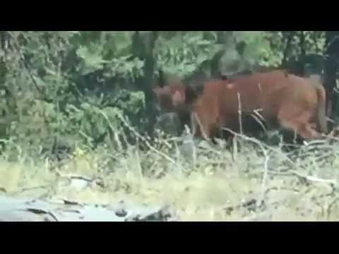 Grizzly bear hunts and takes out cow!