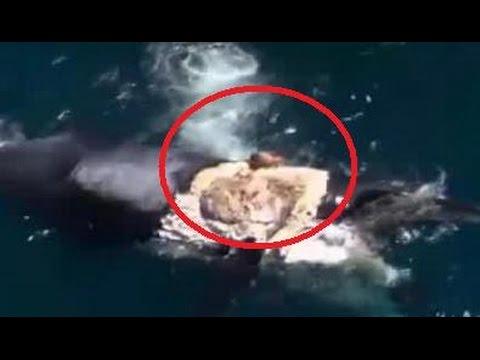 Este loco surfea una ballena muerta rodeada de tiburones