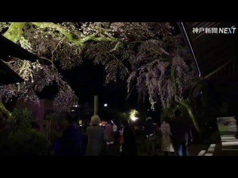 夜空に浮かぶシダレザクラ 神戸市北区の善福寺