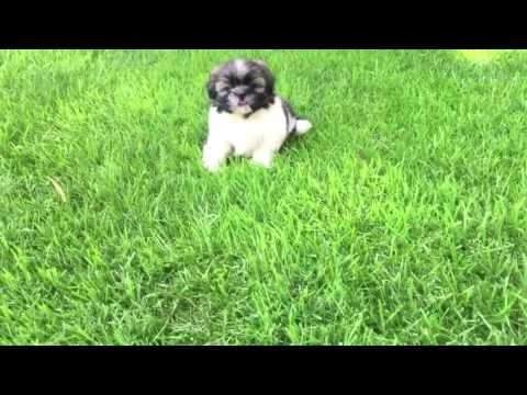 Teddy is the perfect Shih Tzu puppy in everyway