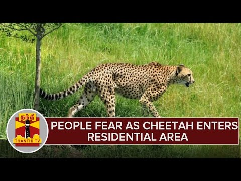 People-Fears-as-Cheetah-Enters-Residential-Area-in-Thisayanvilai-02-03-2016