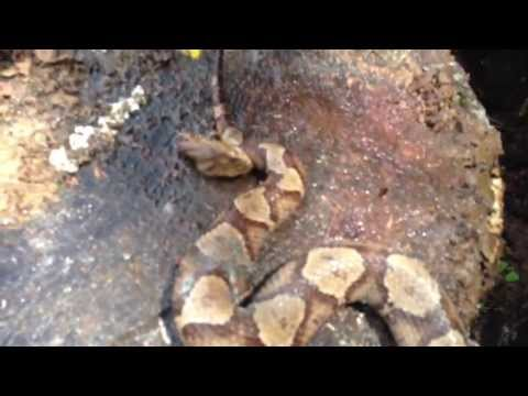 Copperhead Snake Bites Itself