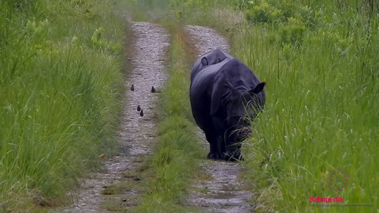 Greater one-horned rhinoceros at Manas National Park