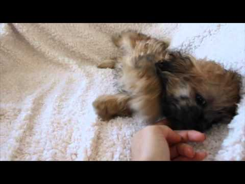 EWOK THE TEDDYBEAR MAL-SHIH MALE PUP