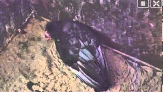 San Diego Zoo Condor Cam,congrats To  Sisquoc And Shatash With Their First Egg Of The Season