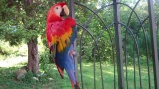 Maggie Our  Scarlet Macaw  Funny