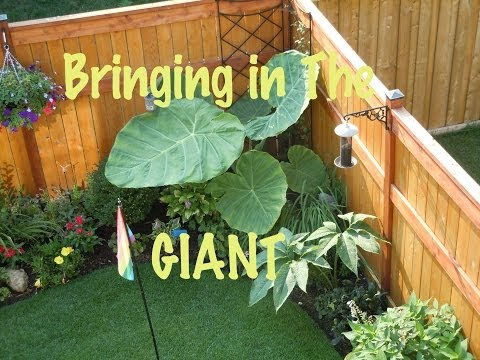 gigantea - It's that time of year again. It's always a sad time to bring the big plants inside. It would be so nice if they could grow all year round outside here. They...