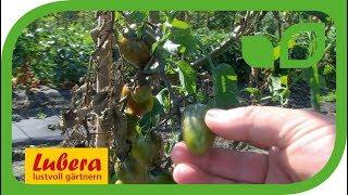 Die wichtigsten Tomatenkrankheiten - Phytophthora und Alternaria