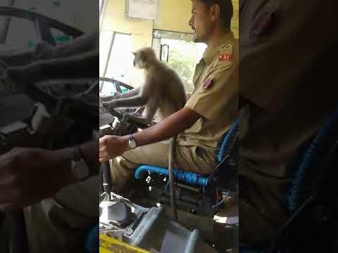 Μαϊμού «οδηγεί» λεωφορείο στην Ινδία