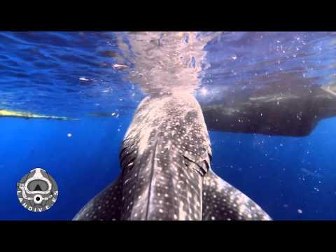 LANDIVE.ES - Tiburones ballena de la bahía de Senderawasih