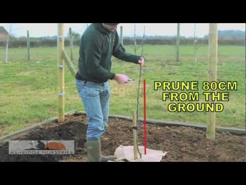 5 – Pruning a 1 year old maiden fruit tree for a bush sized adult tree