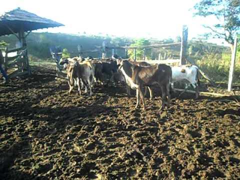 cristiano soltando o gado serra dos aimores