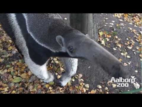 Zoo Denmark - Welcome to Aalborg Zoo In the heart of North Jutland in Denmark. In this movie you can meet a few of our animals one afternoon in the autumn. But about1600 a...