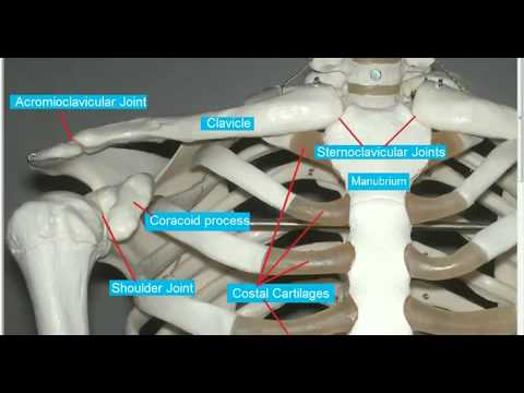 clavicular - http://www.anatomystudyguide.com/ Bones discussed: Clavicle Acromion Process Coracoid Process Manubrium Glenoid Fossa of Scapula Humerus Joints discussed: St...