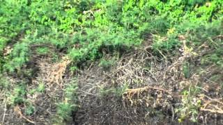 Brésil: un jaguar chasse un caïman dans une rivière