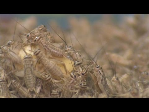 Crickets are the latest health food craze