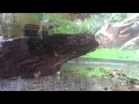 Ghost Shrimp Farm in 10 Gallon Fish Tank AKA Glass Grass or Palaemonetes
