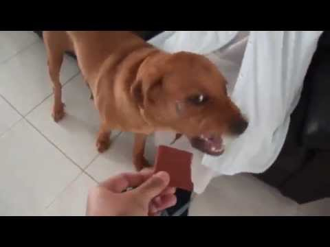 (Funny Dogs Videos Series)- Dog terrified of low-fat lamb jerky