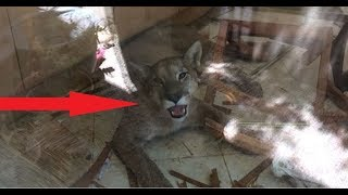 This Cougar Just Broke Into A House. What Happens Next Is Devastating